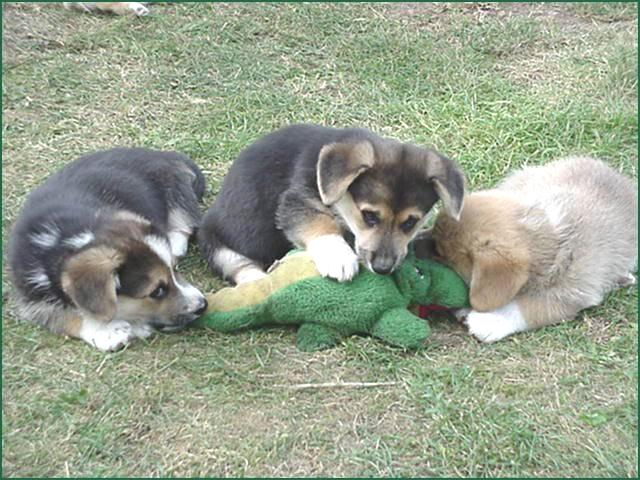 GRAPHIC: dog pack eats alligator