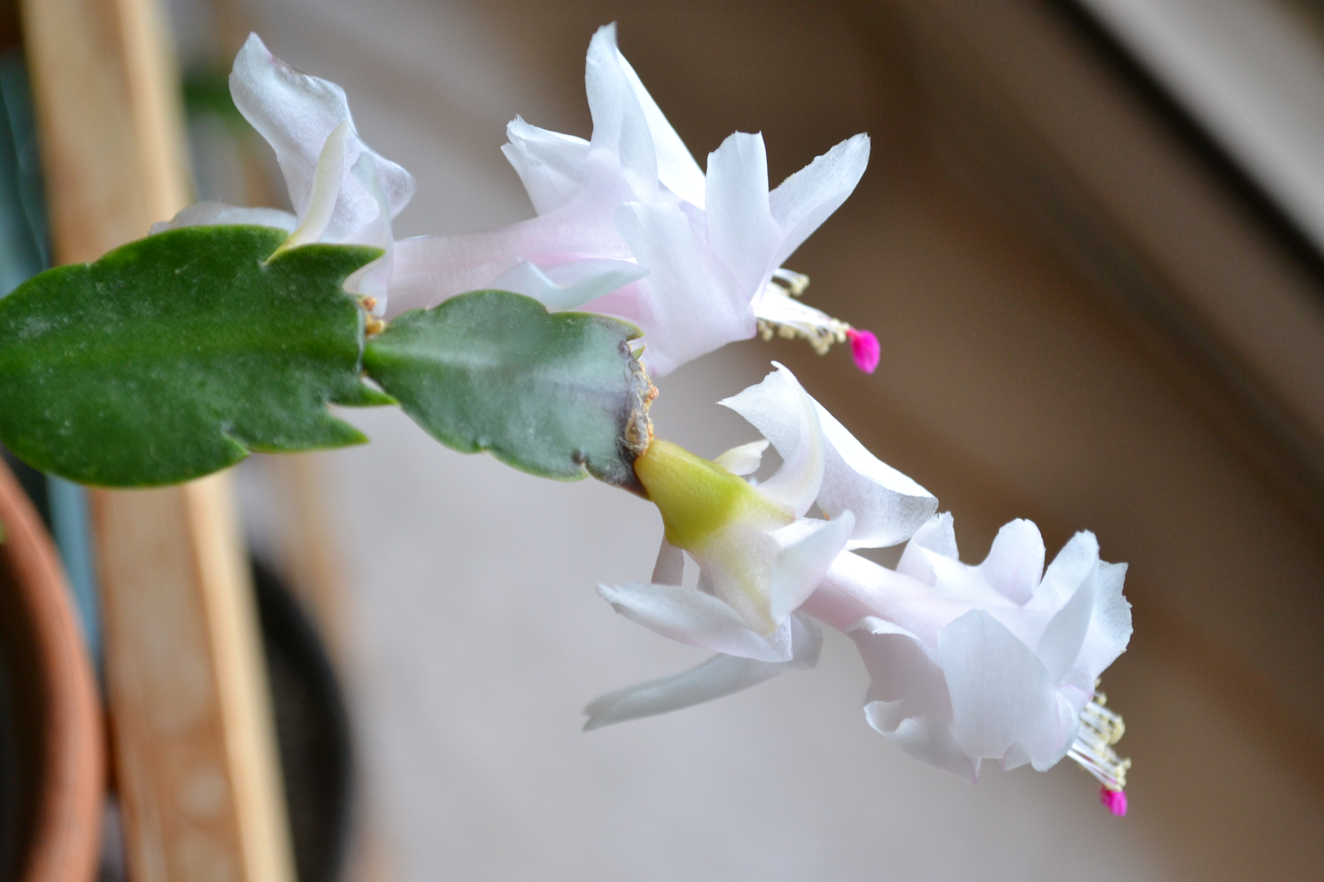Is Christmas Cactus Poisonous.Is A Christmas Cactus Poisonous To Dogs And Cats