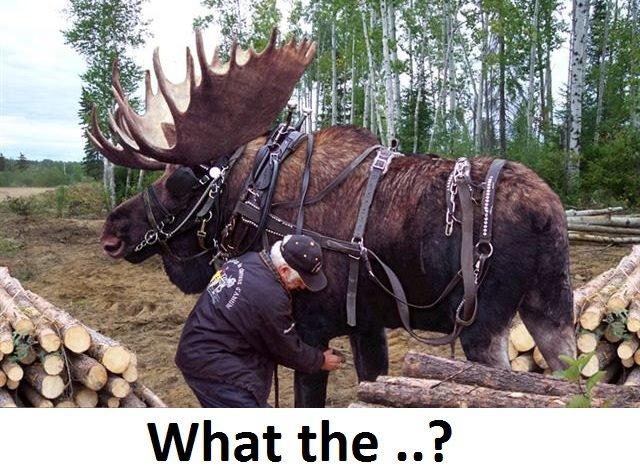 Canada 2 harness moose