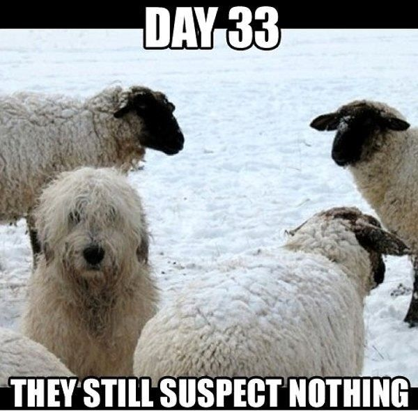 sheep suspect nothing X