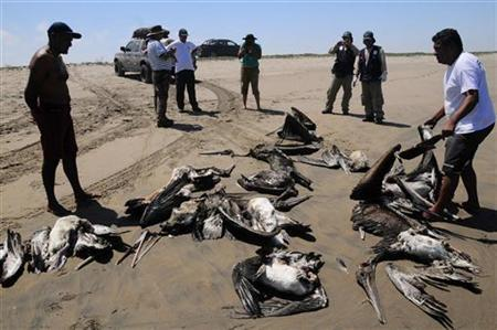 Dead pelicans are displayed by conservationists at Reventazon beach, close to the Illescas peninsula in Piura