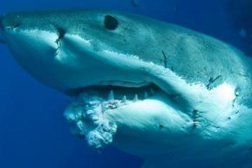 14 shark