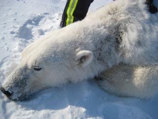 23 polar-bear